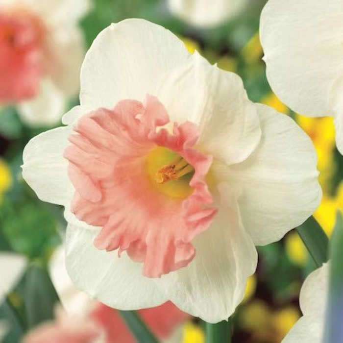 Bulb Daffodil/Narcissus Pink Parasol /White w/Pink cup 6/pk