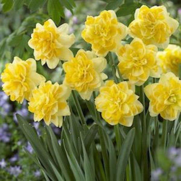 Bulb Daffodil/Narcissus Sweet Pomponette /Dbl Yellow 8/pk