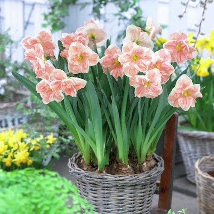 Bulb Daffodil/Narcissus Apricot Whirl /Split Corona 6/pk