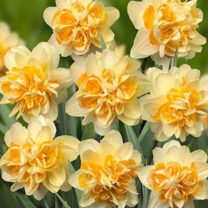 Bulb Daffodil/Narcissus Peach Cobbler /Yellow & Orange  6/pk