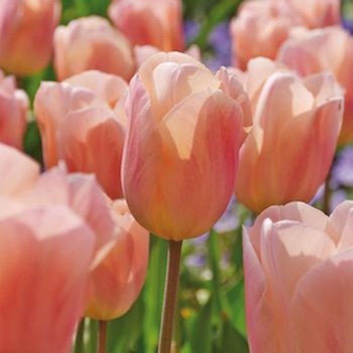 Bulb Tulip Apricot Beauty 10/pk