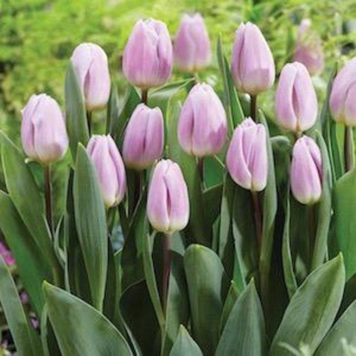 Bulb Tulip Rose Flag /Lt Pink  10/pk