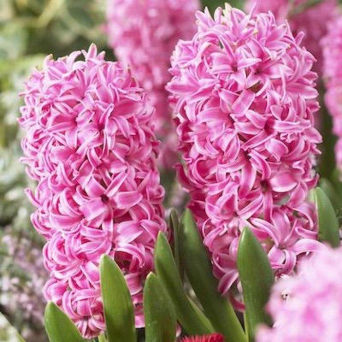 Bulb Hyacinth Pink Pearl 6/pk