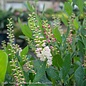 #3 Clethra alnifolia Ruby Spice/Pink Summersweet