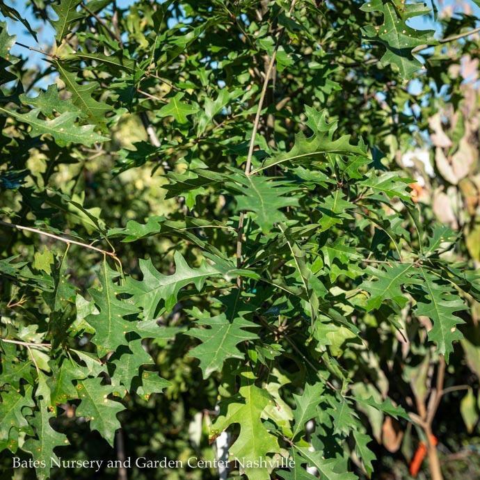 #3 Quercus nuttallii/Nuttall Oak