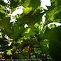 """#25 Quercus bicolor/Swamp White Oak  1.75"""" Caliper"""