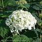 #3 Hydrangea arb Incrediball/Smooth White (Annabelle Type)