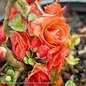 #3 Chaenomeles s. Double Take Orange Storm/Flowering Quince