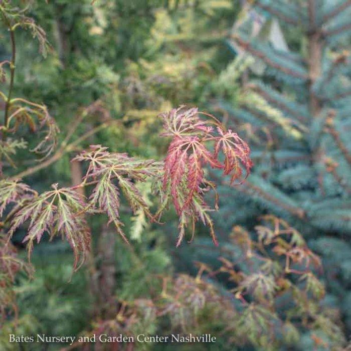 #10 Acer pal var diss Jeddeloh Orange/Japanese Maple Weeping