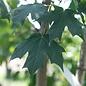 #10 Acer sacc Green Mountain/Sugar Maple