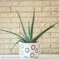 6p! Aloe Vera /Tropical