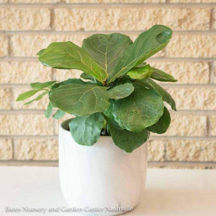 6p! Ficus Lyrata Bush / FiddleLeaf Fig /Tropical No Warranty