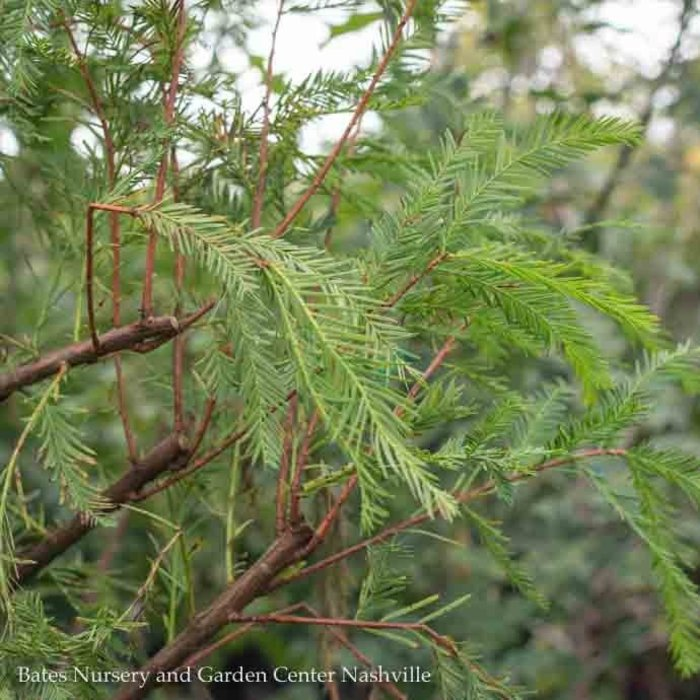 #15 Taxodium distichum/Bald Cypress