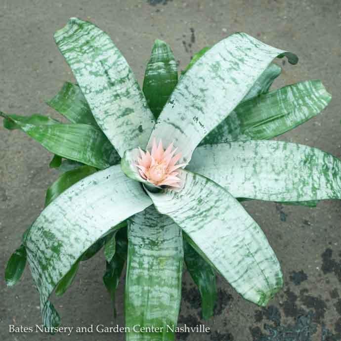 6p! Bromeliad Assortment /Tropical
