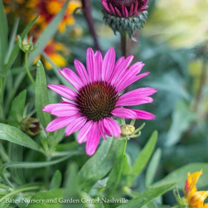 #1 Echinacea Fatal Attraction/Coneflower