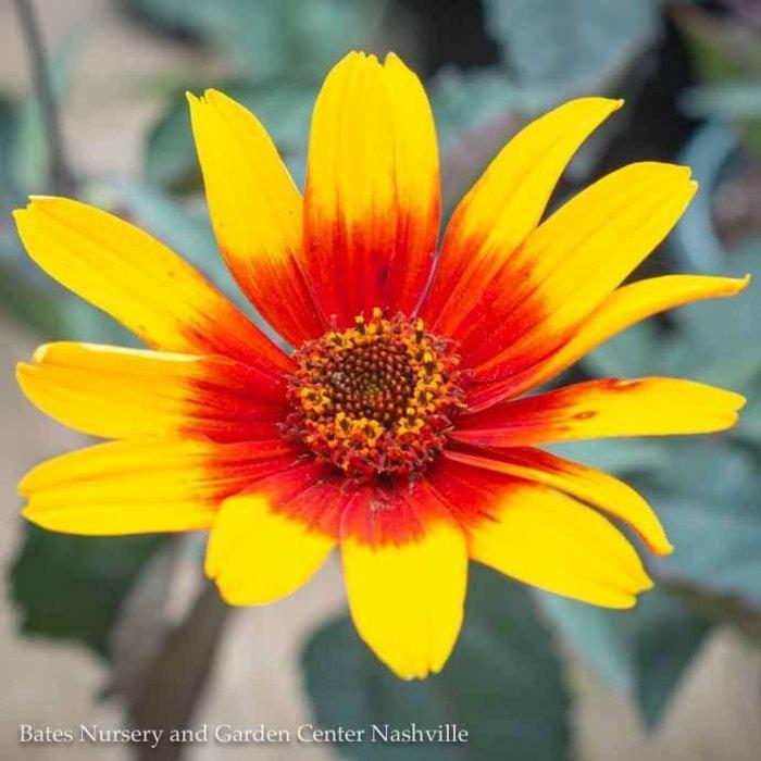#1 Heliopsis Burning Hearts/False Sunflower