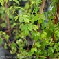 Edible #1 Humulus lupulus/Common Hops