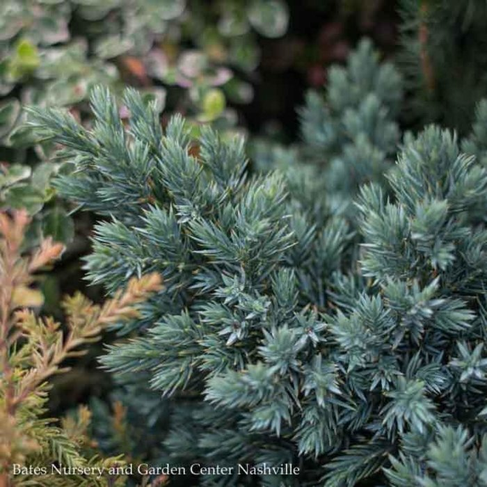 #1 Juniperus squa Blue Star/Juniper Mounding