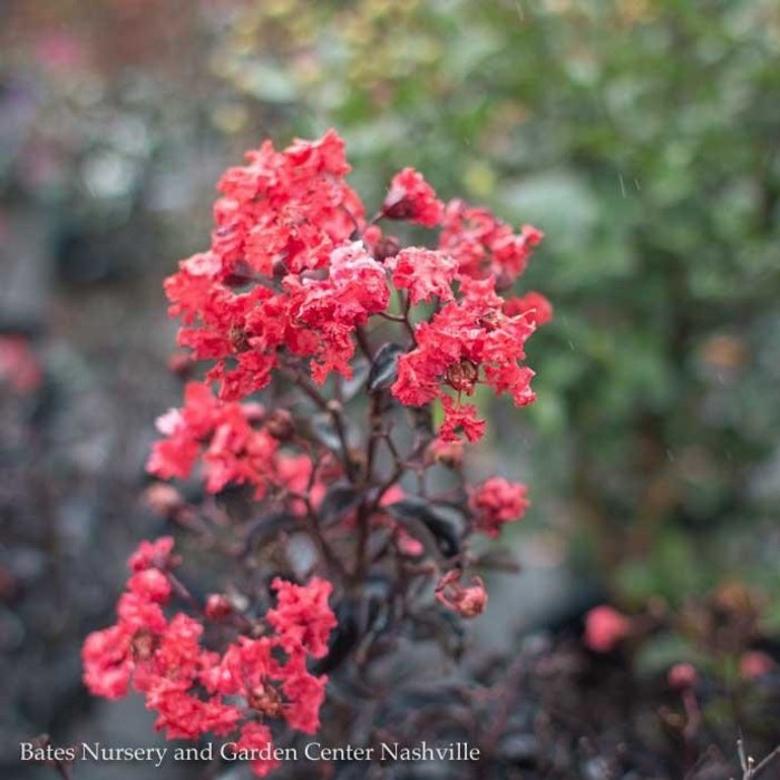 #3 Lagerstroemia Center Stage/Red Crape Myrtle Semi-Dwarf