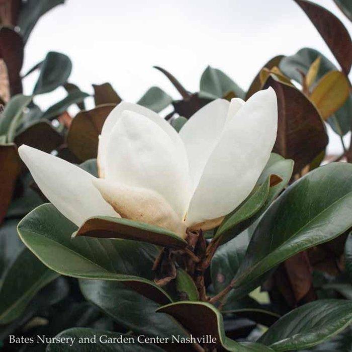 #15 Magnolia g Teddy Bear/Dwarf Southern