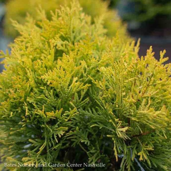 #2 Thuja occ Annas Magic Ball/Arborvitae Globe