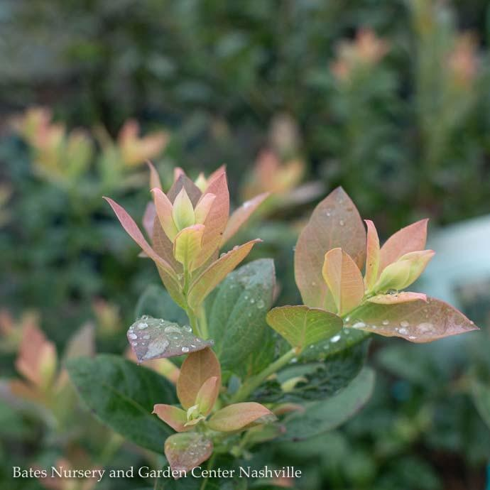 Edible #2 Vaccinium cory Bushel and Berry Pink Icing/Highbush Blueberry