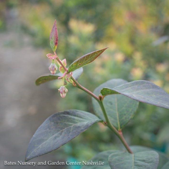 Edible #1 Vaccinium cory Sweetheart/Southern Highbush Blueberry