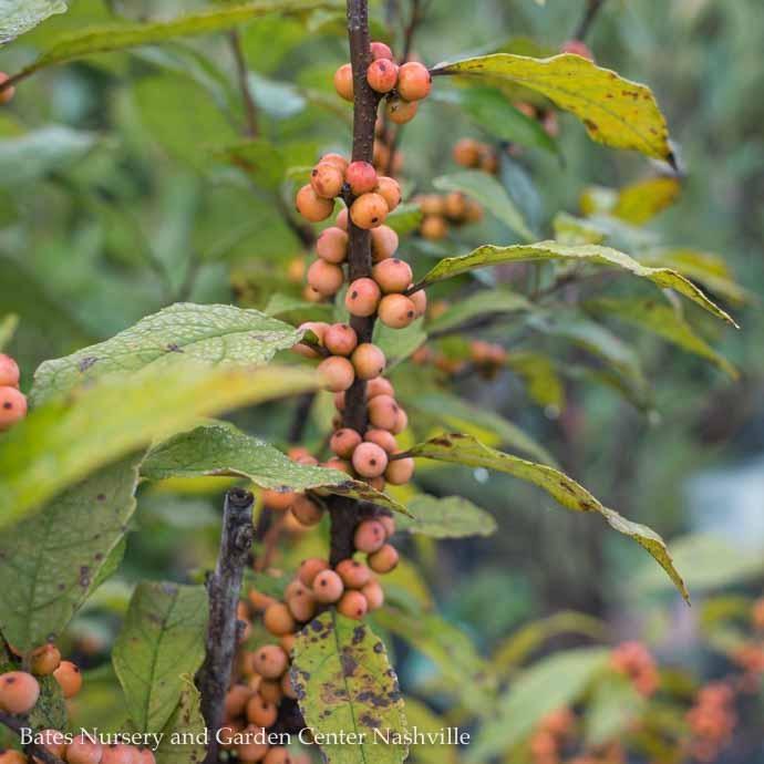 #5 Ilex vert Winter Gold/Winterberry Holly Deciduous Female