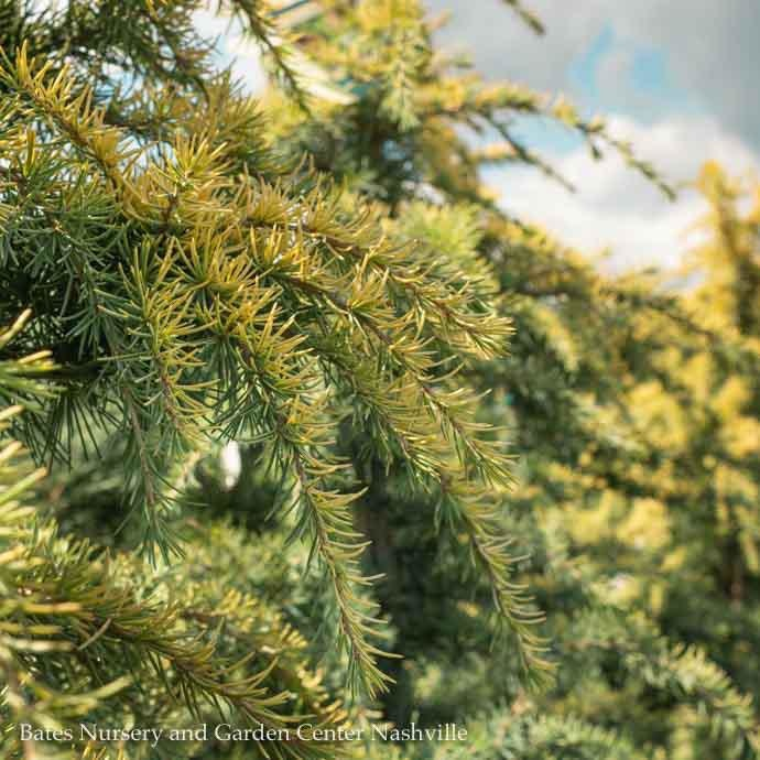 #10 Cedrus deodara Aurea/Golden Deodar Cedar