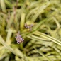 #1 Grass Liriope muscari Marc Anthony/Variegated Monkey