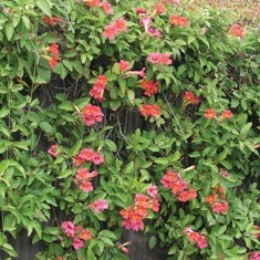 #1 Bignonia Shalimar Red/Crossvine