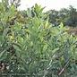 #7 Magnolia v Australis/Evergreen Sweetbay