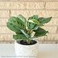 4p! Maranta / Prayer Plant /Tropical