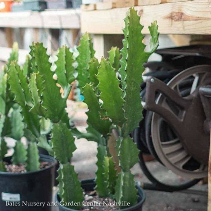 10p! Euphorbia Ingens / Cactus /Tropical