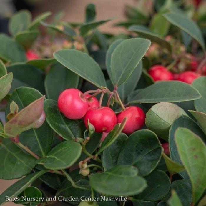 #1 Gaultheria procumbens Cherry Berries/Creeping Wintergreen