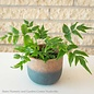 4p! Fern - Flowering Fern /Tropical