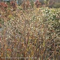 #3 Grass Panicum virg Heavy Metal/Switch