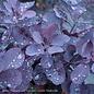 #5 PT Cotinus cogg Royal Purple/Smoketree Patio Tree