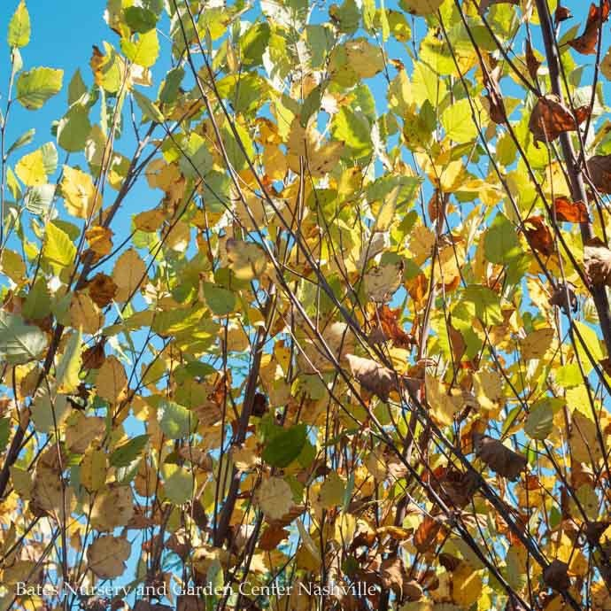 #25 Betula nigra Heritage/River Birch Clump