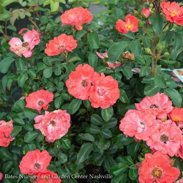 #3 Rosa 'Meidrifora'/Coral Drift Dwarf Shrub Rose NO WARRANTY