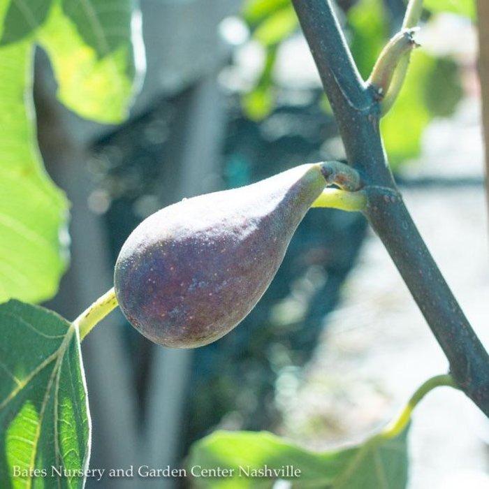 Edible #2 Ficus Violette de Bordeaux/Fig No Warranty