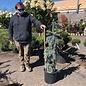 #5 Picea pungens Glauca Slenderina Pendula/Weeping Colorado Blue Spruce