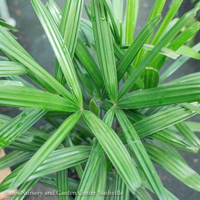8p! Palm Rhapis excelsa /Lady Palm /Tropical