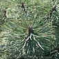 #10 Pinus nigra Oregon Green/Austrian Pine