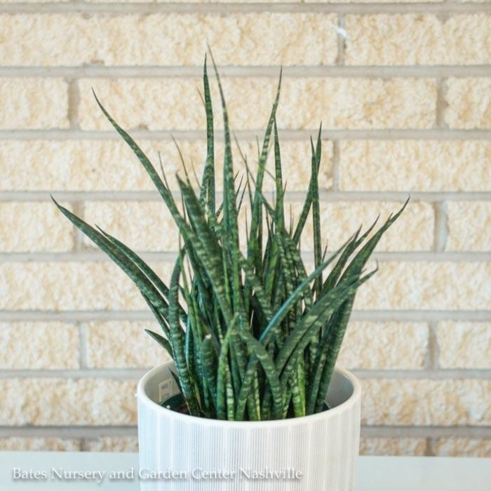 4p! Sansevieria Mikado /Mother-in-Law Tongue /Snake Plant /Tropical