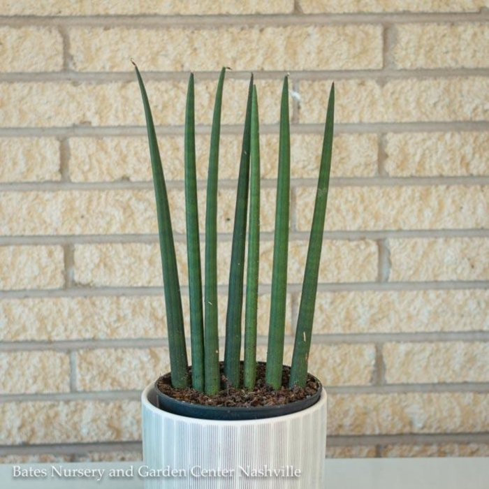6p! Sansevieria Cylindrica /Mother-in-Law Tongue /Snake Plant /Tropical