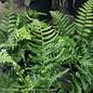 #1 Dryopteris ludoviciana/Southern Shield Fern