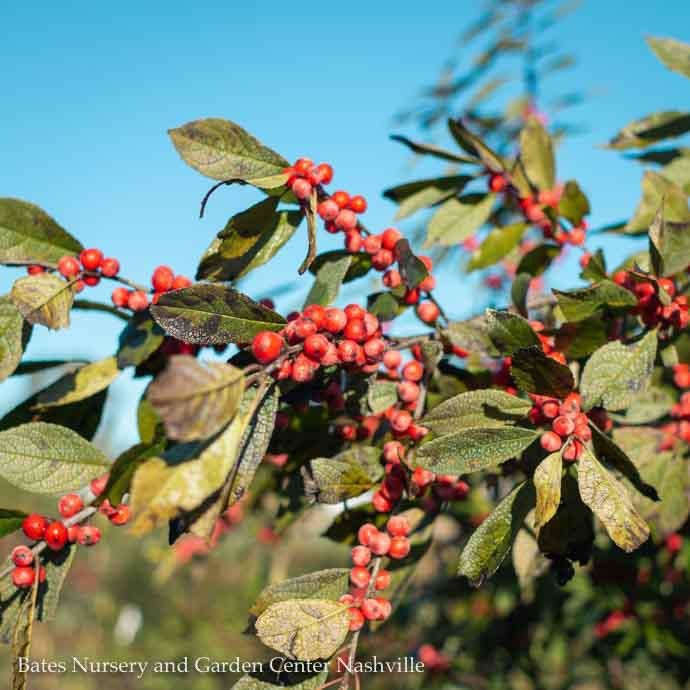 #7 Ilex vert Winter Red/Winterberry Holly Deciduous Female