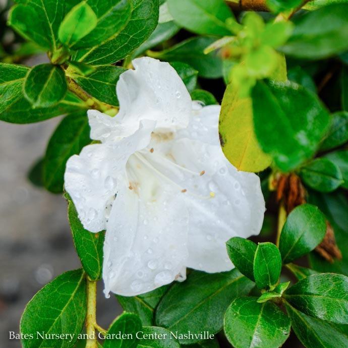 #3 Azalea Encore Autumn Angel/Repeat/white