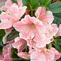 #3 Azalea Encore Autumn Sunburst/Repeat/coral pink white edges